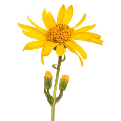 Organic NOP Mountain Arnica Flower Whole