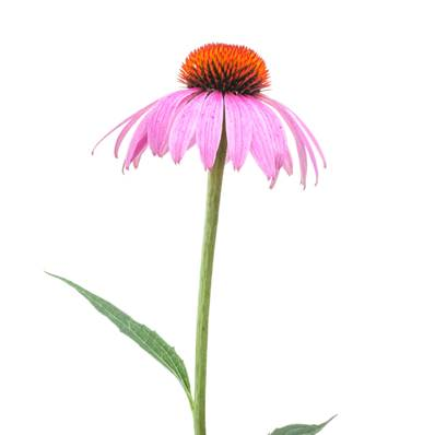 Organic Echinacea Purpurea Aerial Part Cut