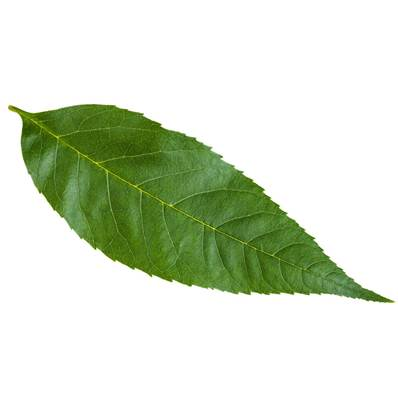 Organic European Ash Leaf Powder Heat Treated