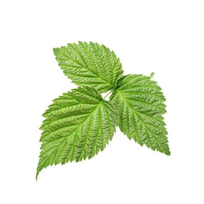 Organic NOP Raspberry Leaf Whole CG