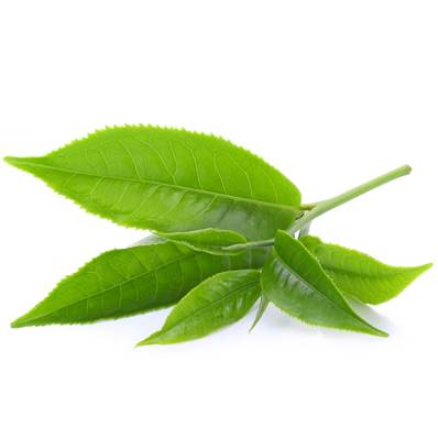 Green Tea Leaf Fanning