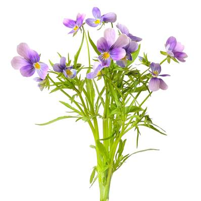 Organic Wild Pansy Aerial Part Extraction Cut 1-3cm Sifted