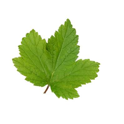 Organic Blackcurrant Leaf Whole