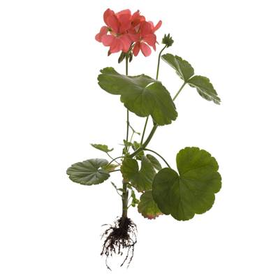Organic Pelargonium Root Cut